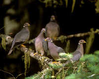 Band-tailed Pigeons